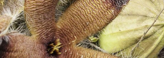 Stapelia grandiflora var. grandiflora