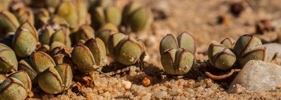 Braunsia (Lampranthus) maximiliani