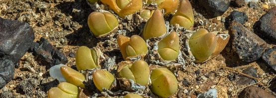 Gibbaeum gibbosum (part 1 of 2)