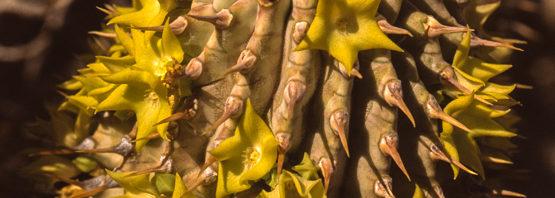 Hoodia (Trichocaulon) alstonii
