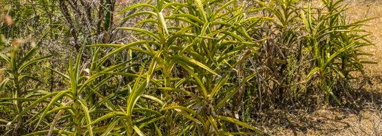 Sansevieria arborescens