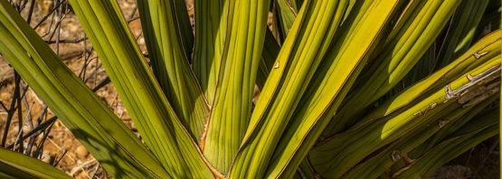 Sansevieria robusta