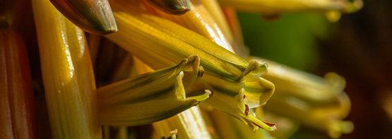 Aloe microstigma (part 1 of 2)