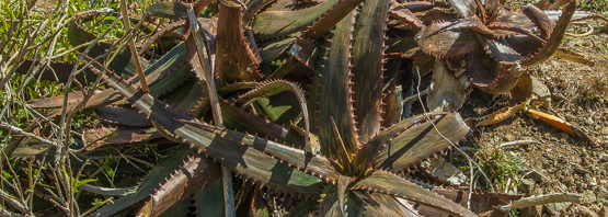 Aloe somaliensis