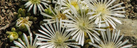 Drosanthemum eburneum