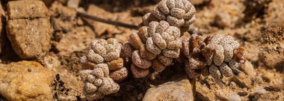 Crassula corallina (part 1: subsp. corallina)