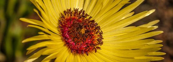 Cephalophyllum tricolorum