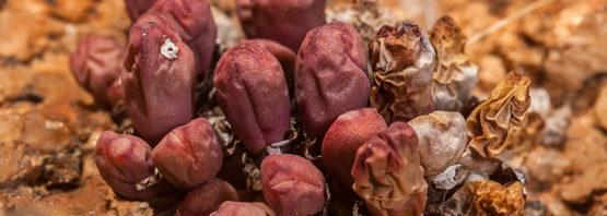 Conophytum meyeri (part 1 of 2)