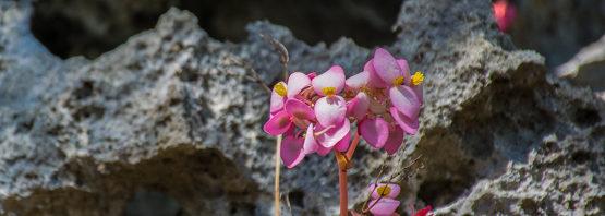 Begonia goudotii