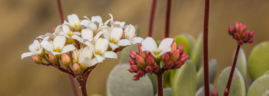Kalanchoe integrifolia