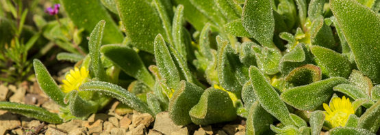 Cleretum papulosum