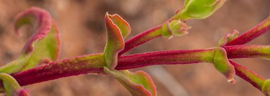 Mesembryanthemum aitonis