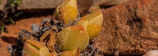 Mesembryanthemum (Sceletium) tortuosum (part 1 of 2)