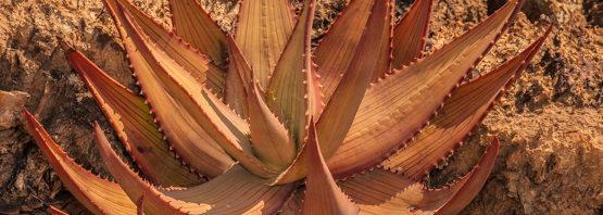 Aloe gariepensis