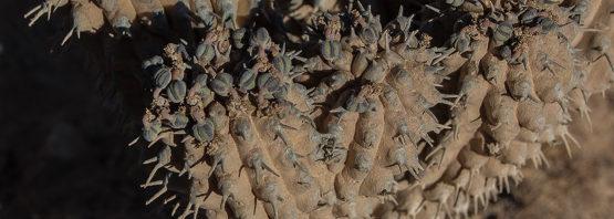 Euphorbia multiclava