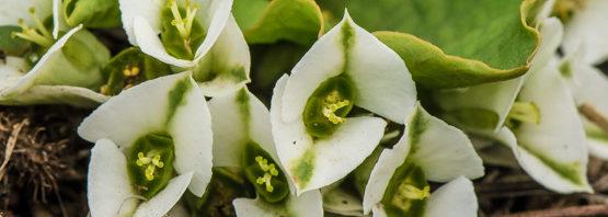 Euphorbia primulifolia                           (var. primulifolia)