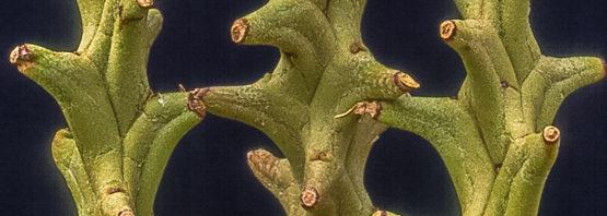 Euphorbia hamata (incl. peltigera)