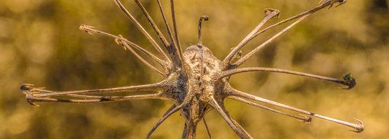 Uncarina stellulifera