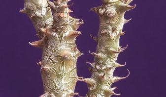 Pelargonium echinatum (part 1 of 2)