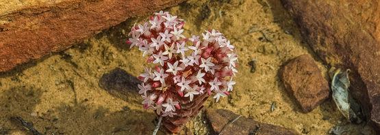 Crassula alpestris ssp. massonii