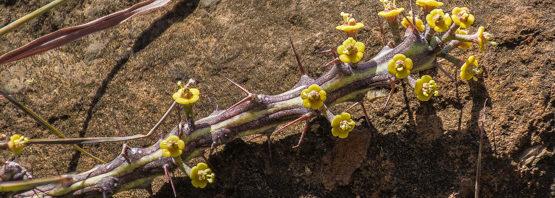 Euphorbia septentrionalis ssp. septentrionalis