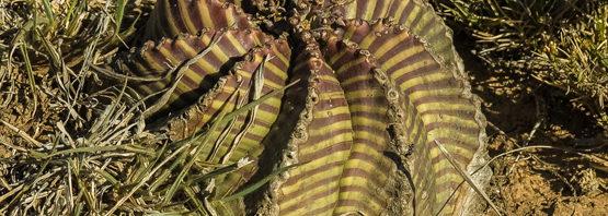 Euphorbia meloformis ssp. meloformis