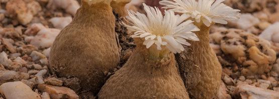 Gibbaeum (Muiria) hortenseae