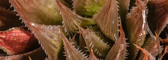 Haworthia outeniquensis