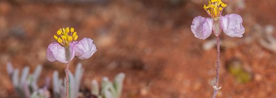 Kewa (Hypertelis) salsoloides