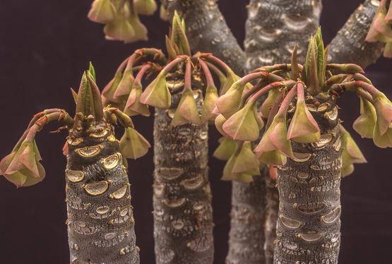 Euphorbia millotii