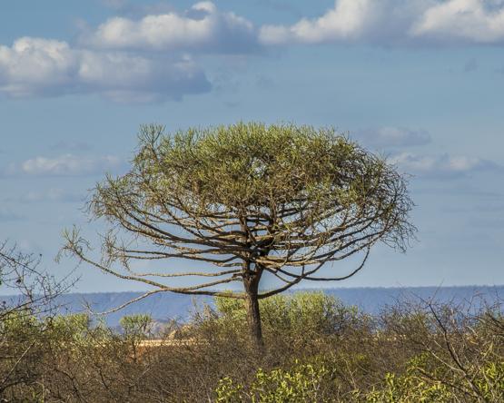 Euphorbia robecchii