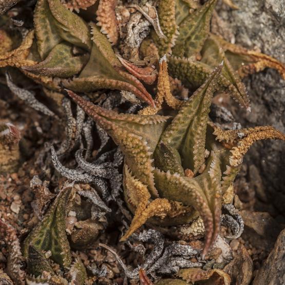Haworthia venosa ssp. tessellata