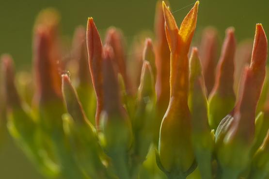 Kalanchoe paniculata