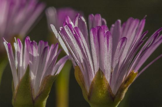 Lampranthus filicaulis