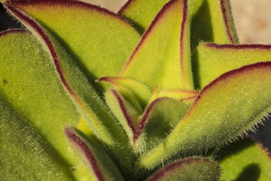 Mesembryanthemum barklyi