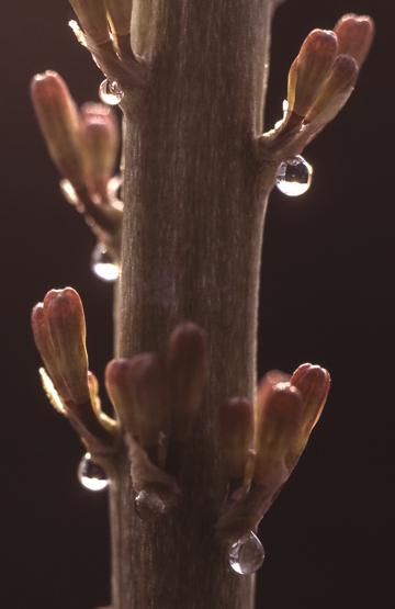 Sansevieria phillipsiae