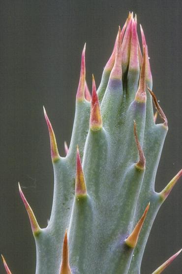 Senecio stapeliiformis ssp. stapeliiformis