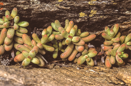 Crassula brevifolia ssp. brevifolia