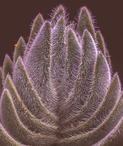 Crassula tomentosa, part 1: var. tomentosa