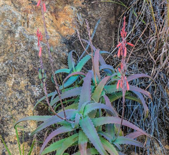 Aloe acutissima var. acutissima
